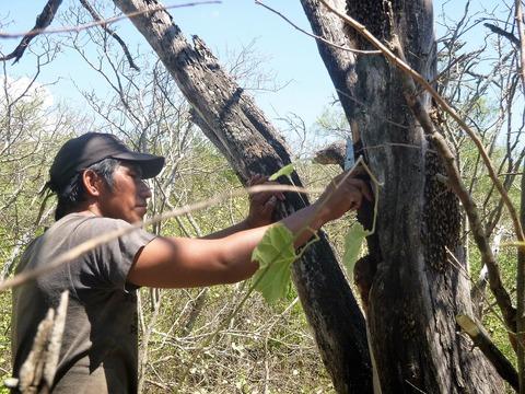 HBA_Indigenous honey gatherers_2