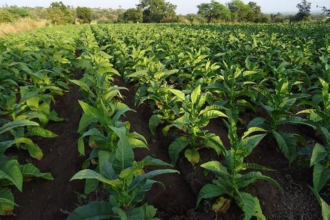 tobacco-1831799_1280