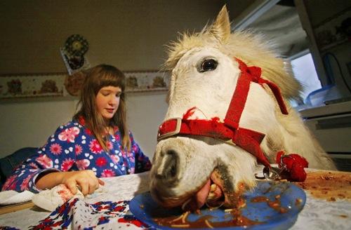 Australia a pet shetland pony eats spaghetti at the family s dining table in sydney rtr8tsv