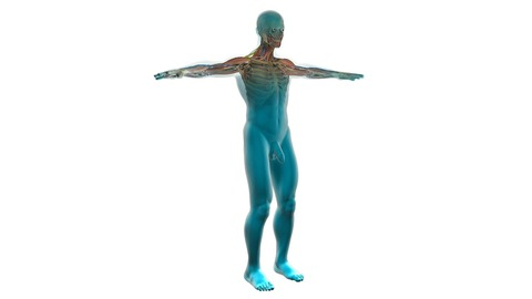 human-cardiovascular-system-163713_1280
