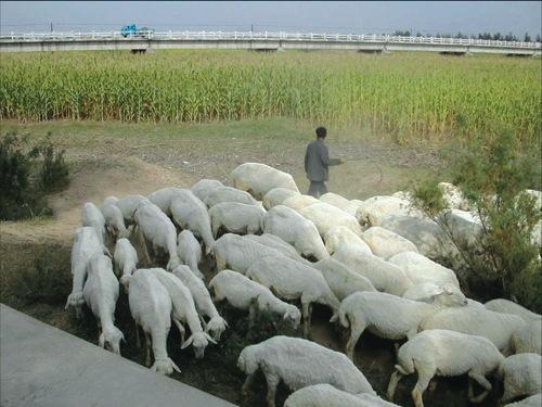 桑干河のトウモロコシ