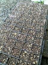 20051005ラベンダー挿し木床