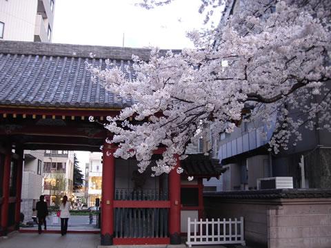 20060329北青山善光寺桜大2