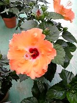 20060602ハイビスカスオレンジ色の花