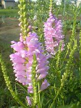 20050831ピンクの花
