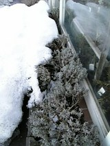 20060218雪の下のラベンダー