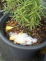 20051120積雪ローズマリー