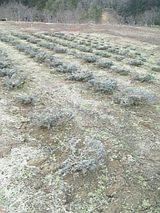 20060323ラベンダー畑1
