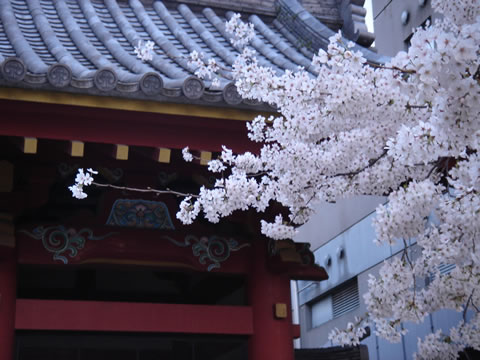 20060329北青山善光寺桜大4