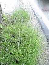 20060609木の下のラベンダー