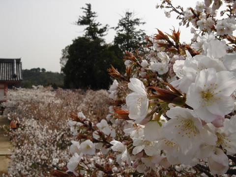 20060417仁和寺桜7