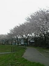 20060428旭川桜1