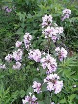 20060531ガザの花