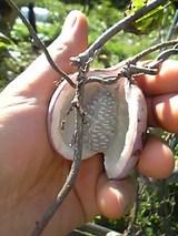 20051011ミニアケビ