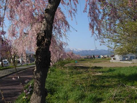 20060503会津喜多方市桜4801