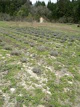 20060430ラベンダー畑1