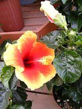 20060602ハイビスカス混合色の花