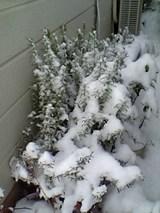 20051212雪をかぶったローズマリー