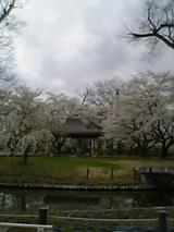 20060427会津美里アヤメ苑の桜