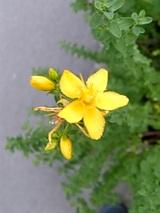 20060629西洋オトギリ草