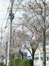 20060423小学校前の桜1