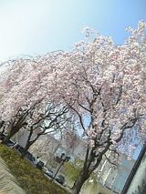 20060503会津若松市の桜