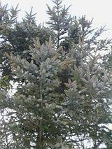 20060120モミの木