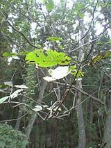 20050930ほうの木