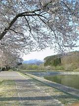 会津喜多方市道の駅桜