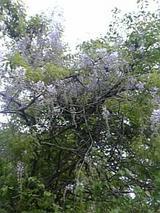 20060525野生の藤の花