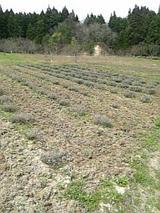 20060430ラベンダー畑2