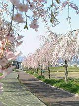会津喜多方市の桜1