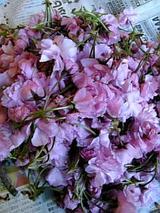 20060509八重桜の花びら