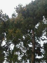 20060306杉花粉