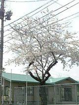 20060428手形桜