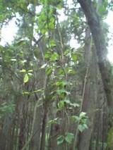 20050930ほうの木とあけび
