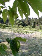 20060606木陰からラベンダーの畑