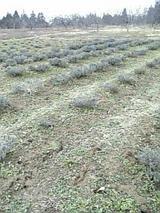 20060404ラベンダー畑