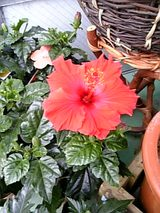 20060602ハイビスカス赤色の花