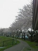 20060428旭川桜2