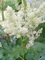 20060520ルバーブの花