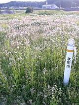 20060525タンポポ