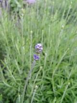 20060601ラベンダー紫色の花穂