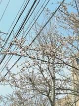 20060423小学校前の桜2