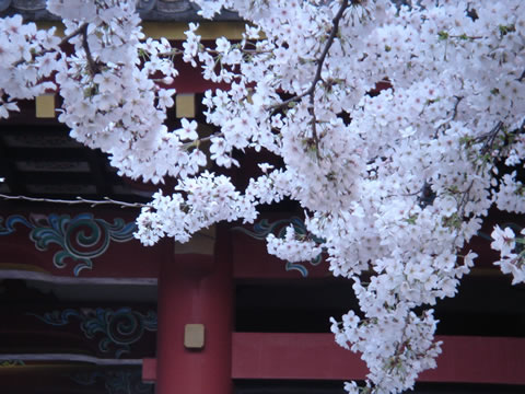 20060329北青山善光寺桜大3