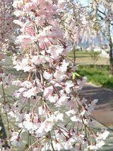 会津喜多方市の桜2