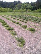 20060522ラベンダー畑2