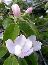 20060520カリンの花