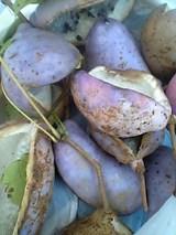 20051019紫アケビ