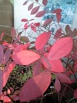 20051104ブルーベリー紅葉